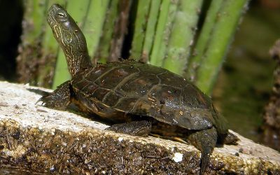 DO YOU KNOW NATIVE TURTLES WHERE DO YOU LIVE?