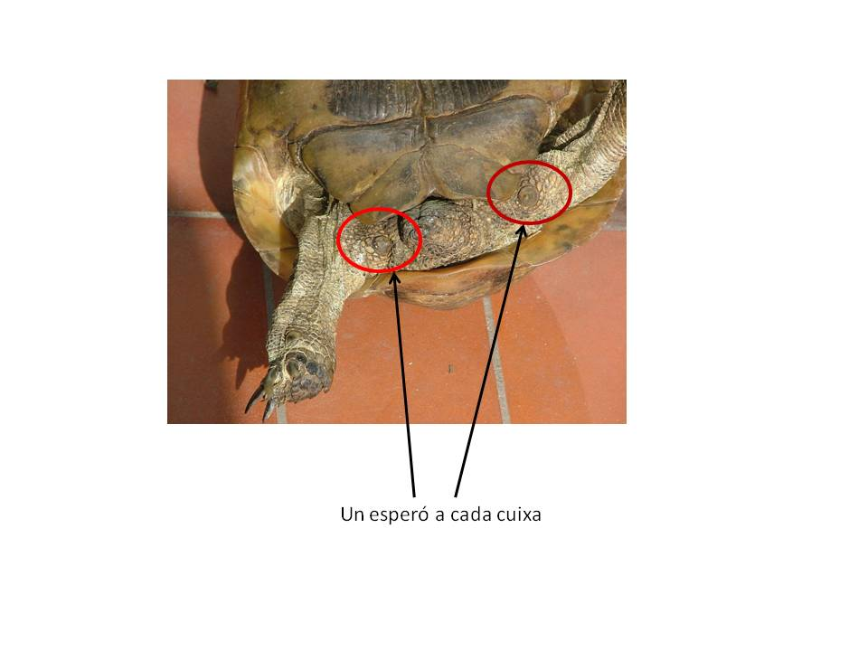 Tortuga mora anatomia