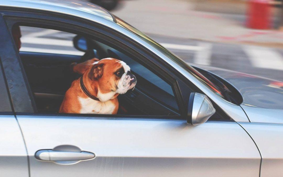 bull doc dins un coche