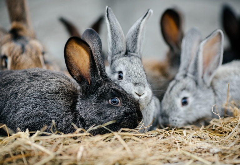 IS IT RECOMMENDED TO CASTRATE OR STERILIZE THE RABBITS?