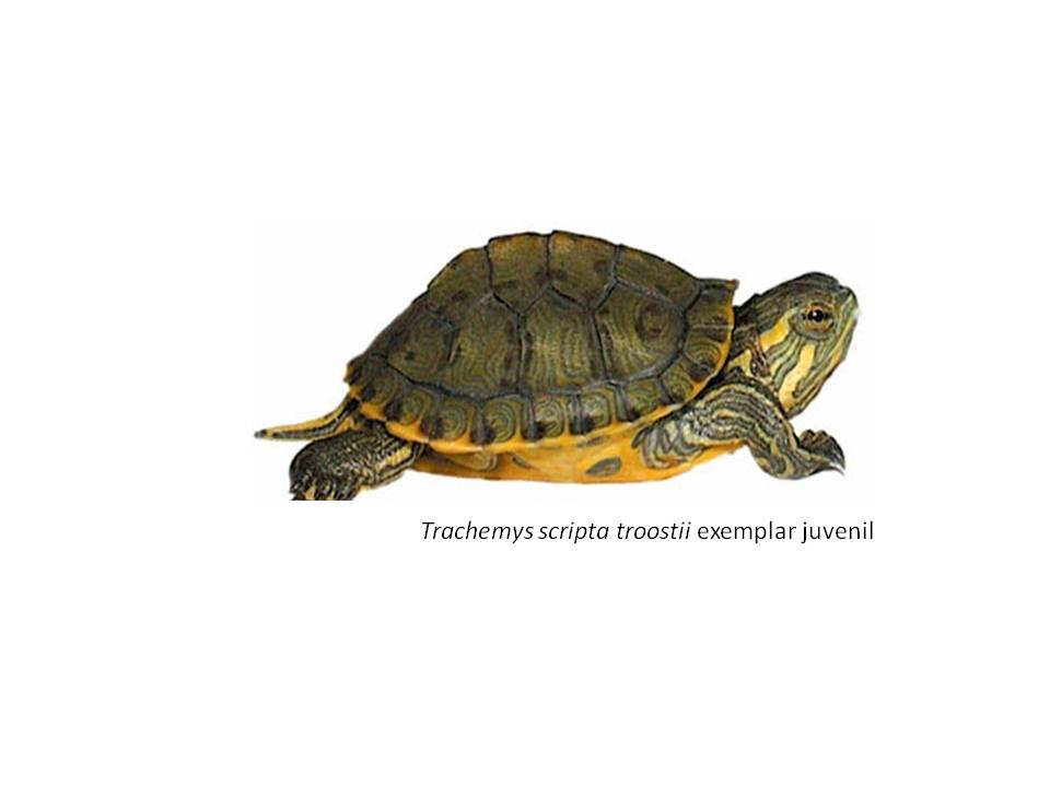 tortuga de Cumberland