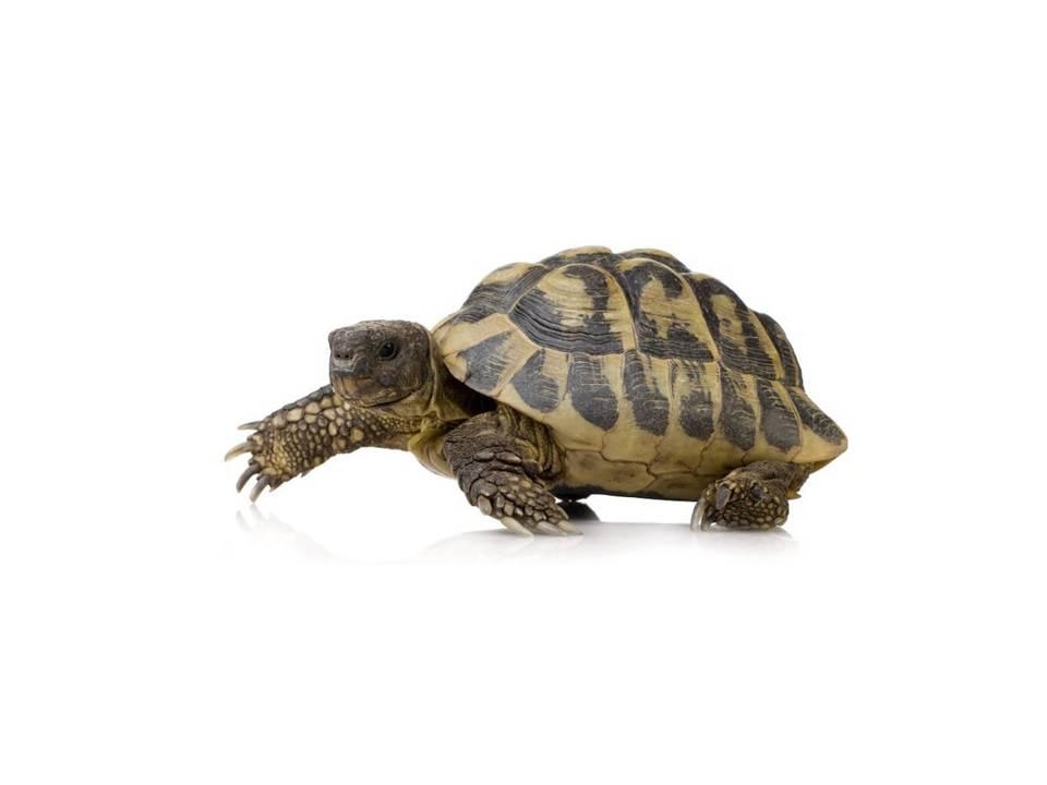 tortuga mediterrània
