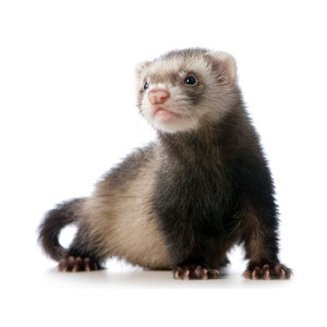 A FERRET AT HOME